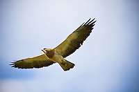 Swainsons Hawk in Flight as seen from directly underneath.  The wings and main body of the bird are clearly visible and its striking feather patterns are beautiful.