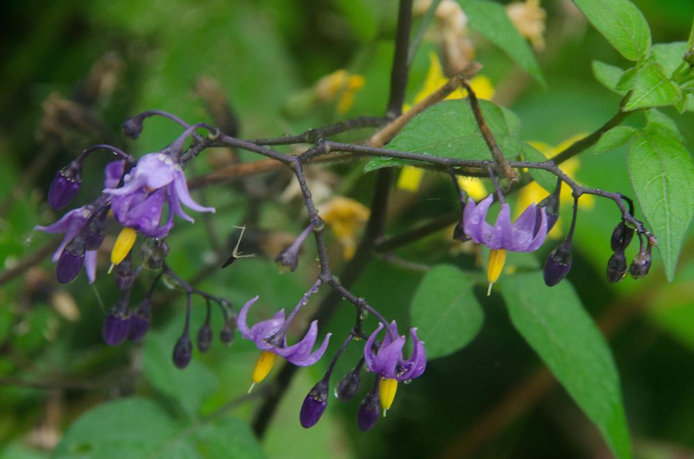 Wildflowers, Castine, Maine, US