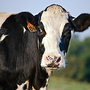 Holstein Cows in Pasture