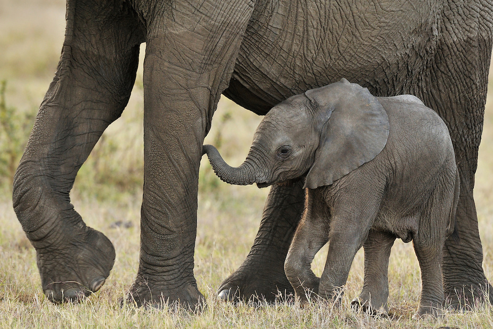 Elephant calf under protection, Masai Mara, Kenya