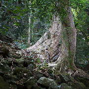 An Environmentalist inspecting huge tree trunk, in the Khao Ang Rue Nai Wildlife Sanctuary, Thailand.