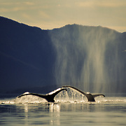 A pair of humpback whales (Megaptera novaeanglia) sounding, Icy Strait, Southeast Alaska, USA.<br />