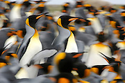[size of single organism: 90 cm] Der Königspinguin (Aptenodytes patagonicus) findet sich zur Brutzeit in großen Kolonien zusammen. | The king penguin (Aptenodytes patagonicus) is highly gregarious at the breeding colonies.