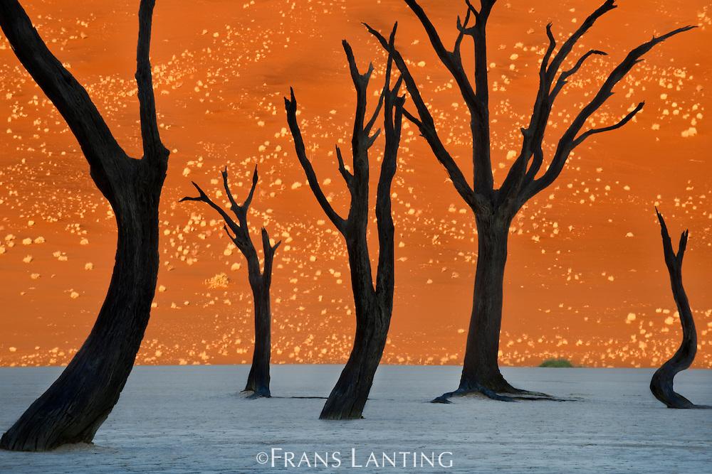 Dead camelthorn trees, Acacia erioloba, Dead Vlei, Sossusvlei, Namib-Naukluft National Park, Namibia