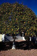 An orange tree in the front yard of a Sun City home, seen December 12, 2010.