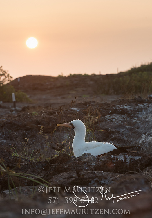Nazca booby at sunset on Genovesa island in the Galapagos archipelago of Ecuador.