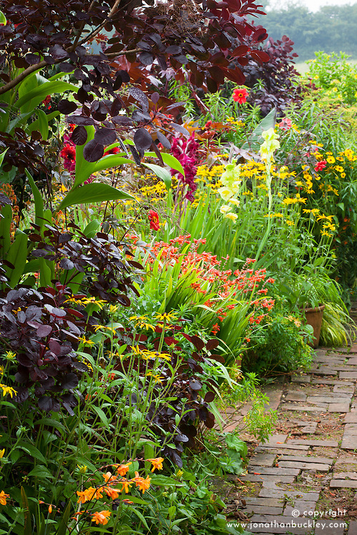 Hot borders in the brick garden at Glebe Cottage with crocosmia, gladiolus, rudbeckia, dahlias and Cotinus coggygria Purpureus Group.