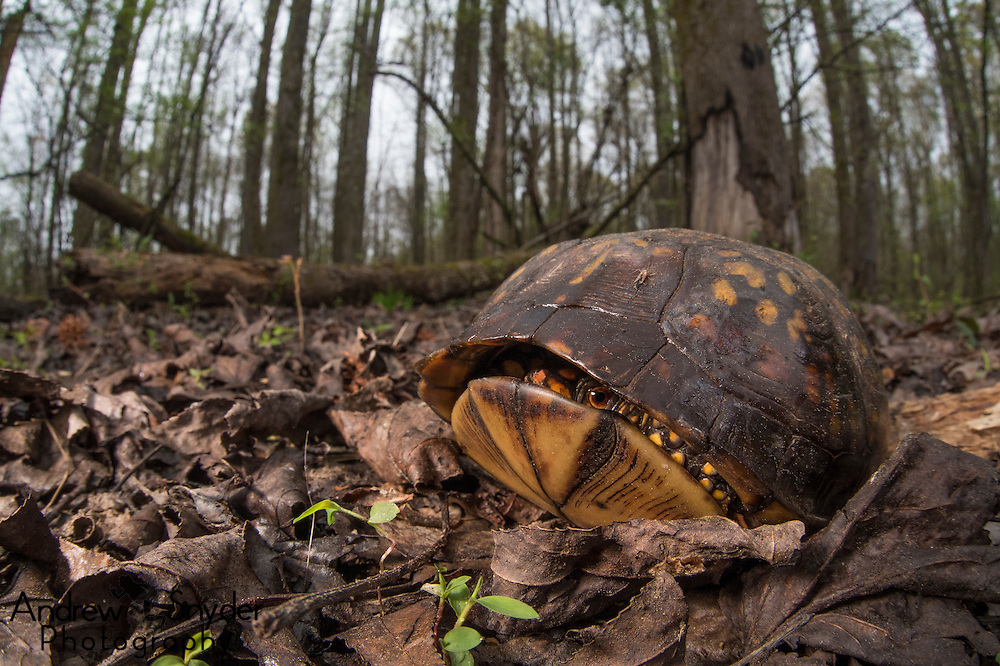 A shy box turtle (Terrapene carolina) unsure if it wants to come out of its shell - Water Valley, Mississippi