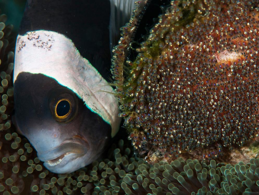 Anemonefish aerating eggs.