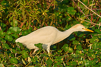 Cattle Egret, (Bubulcus ibis), Arthur J Marshall National Wildlife Reserve, Loxahatchee, Florida   Photo: Peter Llewellyn