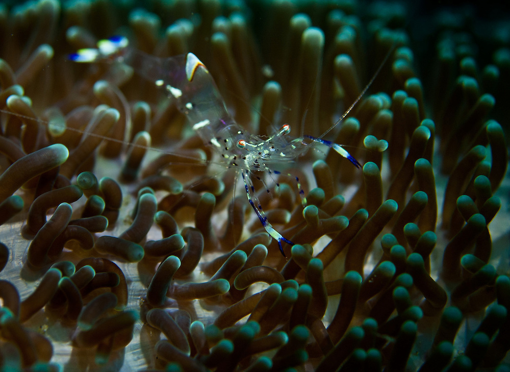 A Commensal shrimp sits on an Anemone. In the Philippines, muck divers head straight to Dauin to begin the hunt. It is considered one of the premier muck diving locations on the planet. On a bad day at Dauin, you can spot more rare animals than a decade out on the reef...