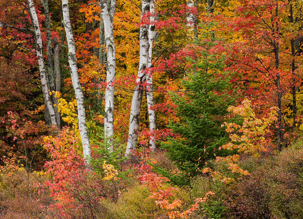 Intimate shot of the forest during peak autumn color, groton state forest, Vermont