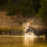 bull moose in lake shaking head