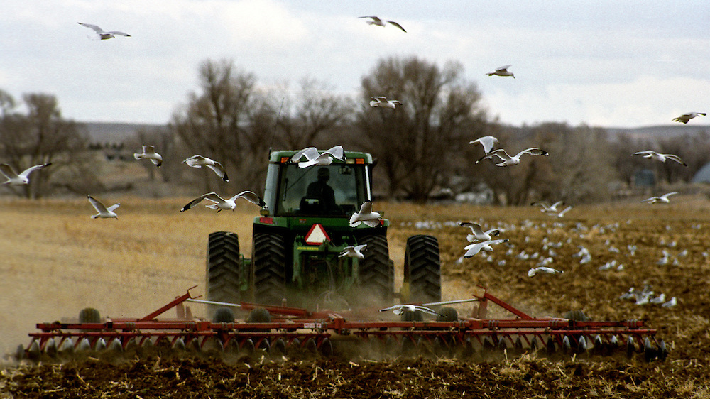 Seagulls scans for grain as a farmer plows his field in preparation for winter after harvest