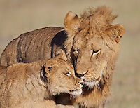 Young male lion (Panthera leo) gives his little brother some affection, Serengeti
