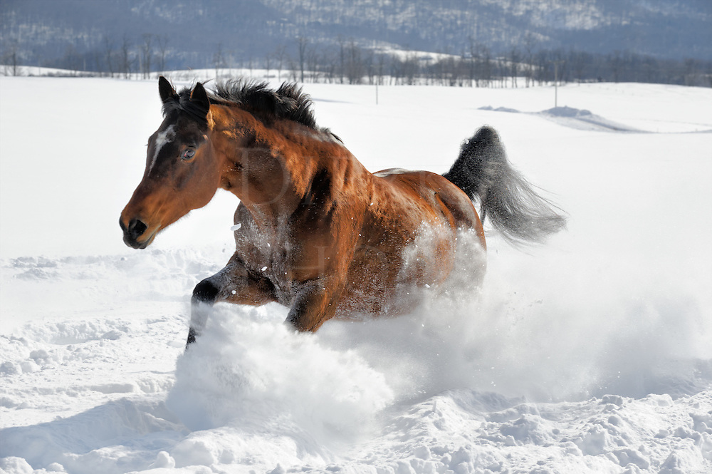Horse running in deep powder snow, digging in with power and strength, Pennyslvania, PA, USA.