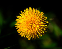 Dandelion Flower. Image taken with a Fuji X-H1 camera and 80 mm f/2.8 macro lens (ISO 200, 80 mm, f/2.8, 1/8000 sec).