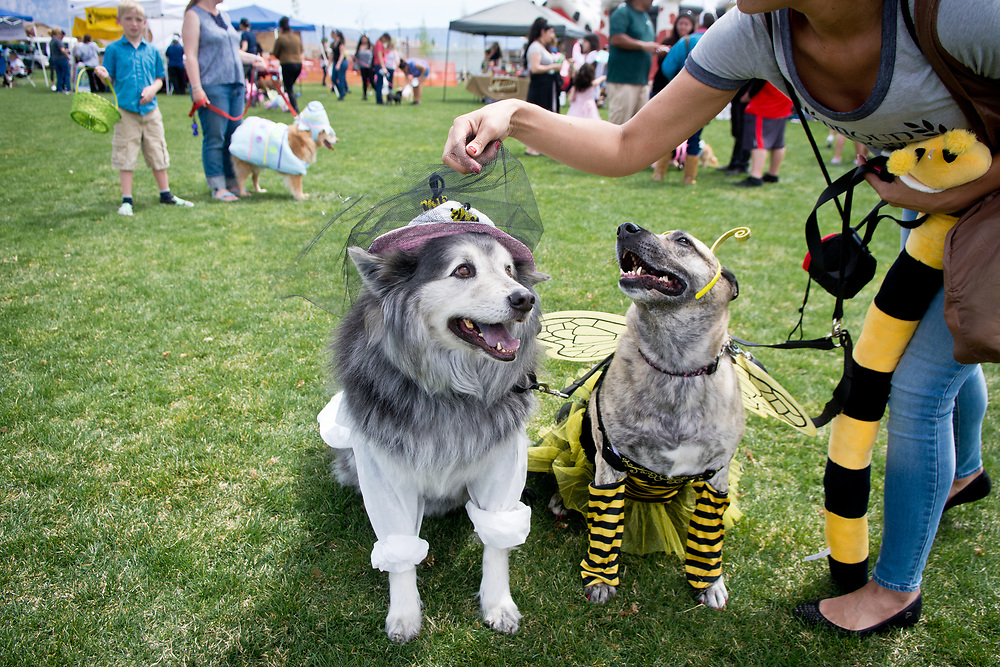 mkb041617b/metro/Marla Brose --  Sabrina Somarribas fixes the bee keepers webbing for her dog Phantom, a malamute mix, over her other dog, Roxy, a German Shepherd mix dressed as a bee, before the Eggs N' Beggin dog parade at Cabezon Recreation Center in Rio Rancho, Saturday, April 8, 2017. Phantom and Roxy took first place in the costume contest. (Marla Brose/Albuquerque Journal)
