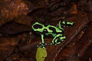 Green-and-black Poison Dart Frog; Dendrobates auratus; Costa Rica; Sarapiqui