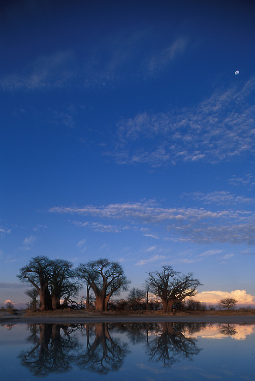 Botswana, Nxai Pan National Park, Setting sun lights Baines Baobabs, reflected in flooded salt pans under rising gibbous moon