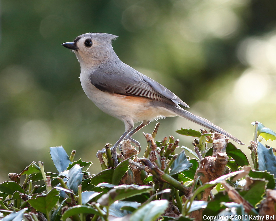 Image of titmouse