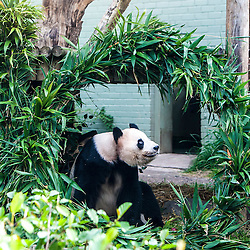 Yang Guang, Edinburgh Zoo's male giant panda, turns 10