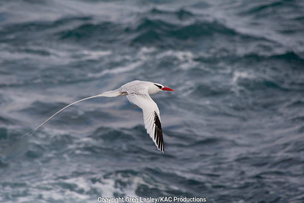 Red-billed Tropicbird<br /> Phaethon aethereus<br /> adult - in flight<br /> Darwin Bay<br /> Genovesa Island<br /> AKA Tower Island<br /> Galapagos Islands<br /> Ecuador<br /> 23 August 2010