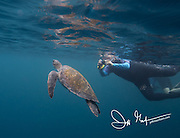 A tourist takes a picture of a Galapagos green sea turtle off the coast of Isabela island, part of the Galapagos islands of Ecuador.