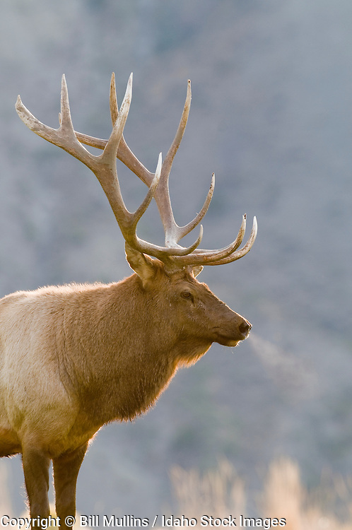 Rocky Mountain bull elk (Cervus canadensis) near Mammoth Hot Springs in Yellowstone National Park MT