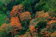 Flowering orange Poro trees are abundant in the Orosi Valley of Costa Rica.