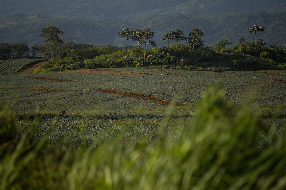 A pineapple farm in Costa Rica on January 12, 2014.