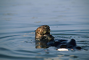 Sea Otter, Otter, Monterey, California, Pacific Ocean, Ocean, Sea, Marine Mammal