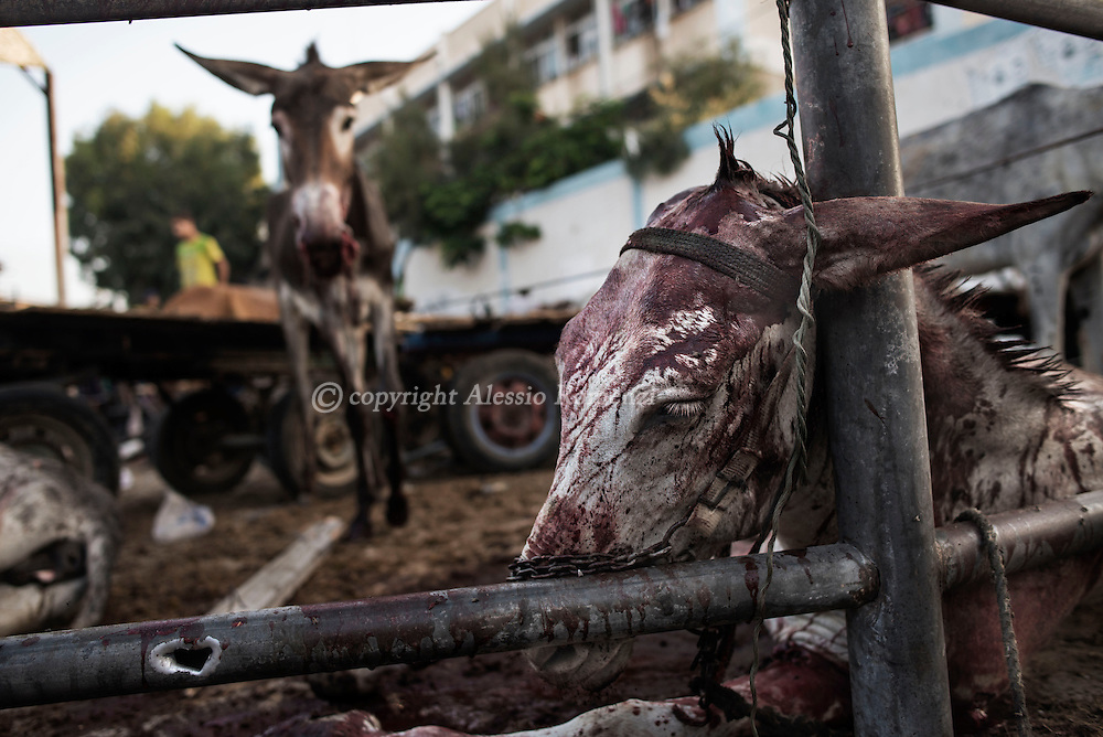 Gaza Strip, Jabalia refugee camp: Injured donkeys by shelling are seen in front at the UNRWA (United Nations Relief and Work Agency) Jabalia refugee camp school on July 30, 2014. ALESSIO ROMENZI