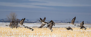 Canada Geese in a field near Riverdale, ND, on Wednesday, Feb. 14, 2018.