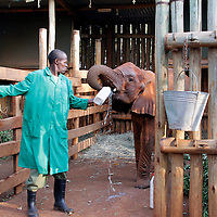 Africa, Kenya, Nairobi. Caretaker bottle feeding orphaned baby elephant Shukuru at David Sheldrick's Wildlife Trust.