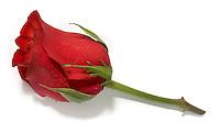 rose lapel