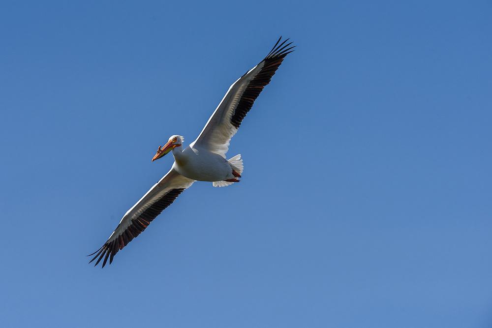 White pelican in flight, Walden Ponds, Boulder, CO