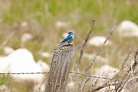 Male Mountain Bluebird songbirds that can be found along roadsides like this one perched on a fence post.
