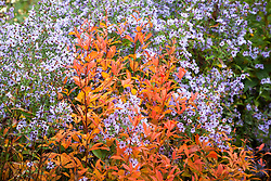 Gillenia trifoliata AGM (Bowman's root) with Aster 'Little Carlow' (cordifolius hybrid) AGM