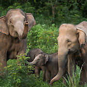 Asian Elephants (Elephas maximus) with calfs in Kui Buri national park, Thailand