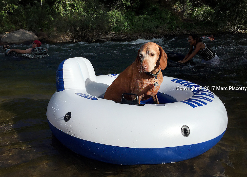SHOT 7/10/16 5:53:02 PM - Tanner, an 11 year old male Vizsla, tries his hand at tubing along Clear Creek in Golden, Co. (Photo by Marc Piscotty / © 2017)