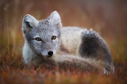 Arctic Fox (Alopex lagopus) relaxed, Spitsbergen, Svalbard