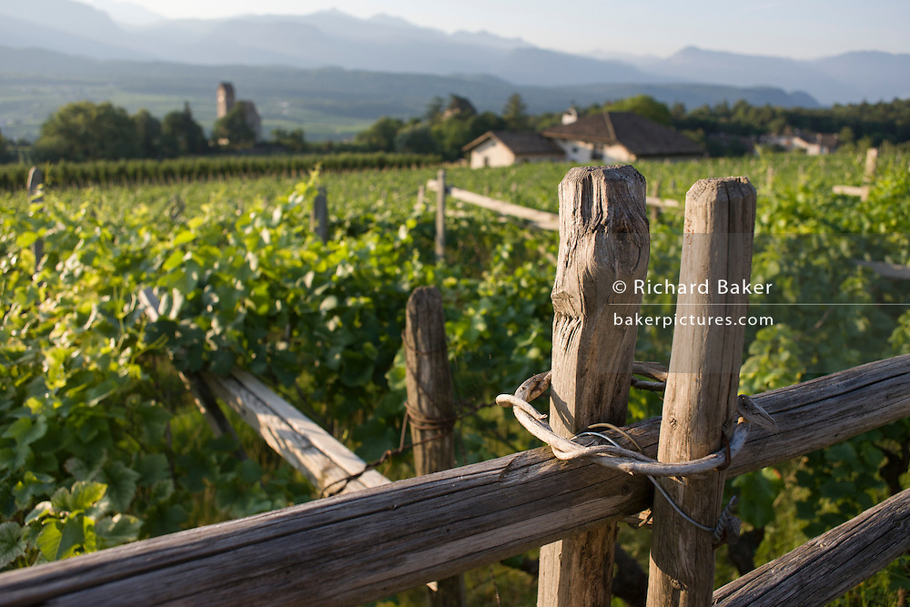 Traditional fencing method and vineyards in the wine growing region south-west of Bolzano, South Tyrol, northern Italy.