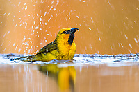 Male Spectacled Weaver bathing, Zimanga Game Reserve, KwaZulu Natal, South Africa
