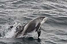White Beaked Dolphins