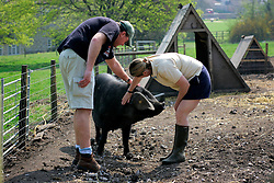 UK ENGLAND WILTSHIRE CHITTERNE 15APR07 - James Hill (33) and Rachel Shaw (38) with a Large Black pig called Cilla Black at the Paradise Pig Farm run by Tony York and Carron McCann. Under the 'Pig Perfect' banner the two run a joint farm specialising in rare breeds and offer courses on pig keeping...jre/Photo by Jiri Rezac..© Jiri Rezac 2007..Contact: +44 (0) 7050 110 417.Mobile:  +44 (0) 7801 337 683.Office:  +44 (0) 20 8968 9635..Email:   jiri@jirirezac.com.Web:    www.jirirezac.com..© All images Jiri Rezac 2007 - All rights reserved.