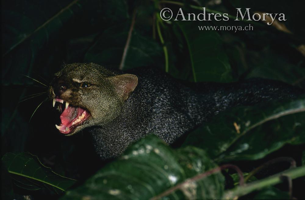 jaguarundi (Puma yagouaroundi), Peru. Image by Andres Morya
