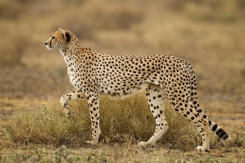 Tanzania, Ngorongoro Conservation Area, Ndutu Plains, Cheetah (Acinonyx jubatas) standing alertly while hunting in grass on savanna