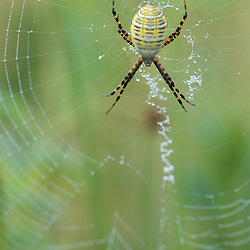 Biddeford, ME..A garden spider (argiope) in its web.  Arachnid class.  In a field at the Grose Property at Fortunes Rocks.