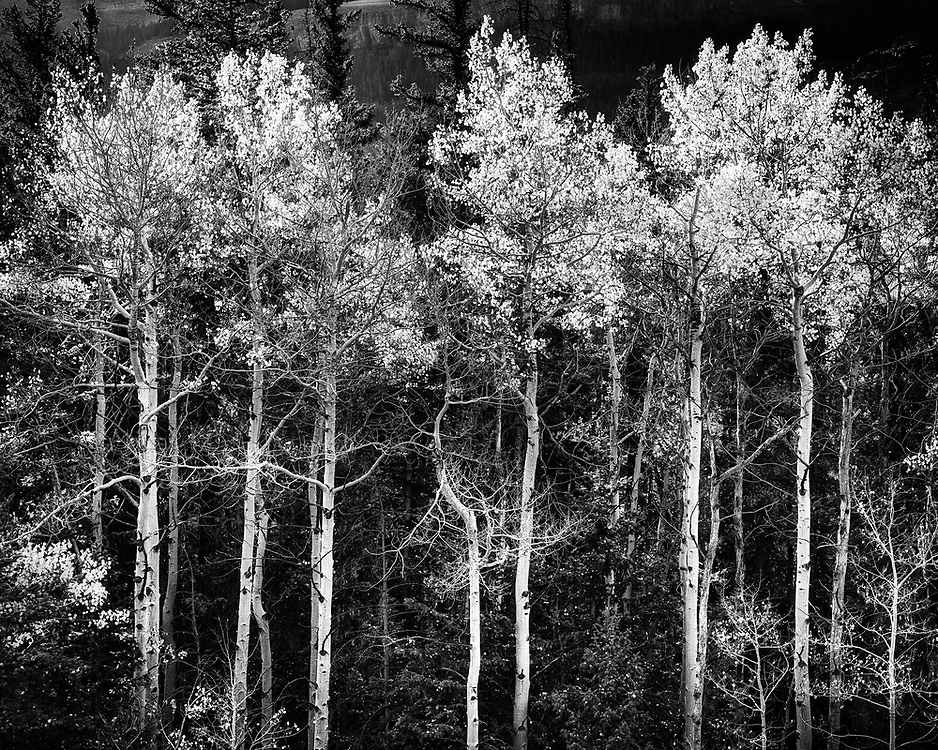Aspens in the Whiskey Basin area of Wyoming.